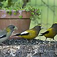 Evening grosbeaks - HORIZONTAL - Bruce Kemp_DSC0010