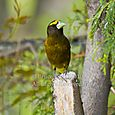 Male Evening grosbeak - VERTICAL - Bruce Kemp_DSC0059