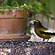 Male Evening grosbeak - HORIZONTAL - Bruce Kemp_DSC0063
