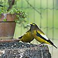 Male Evening grosbeaks - HORIZONTAL - Bruce Kemp_DSC0006