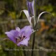 Sagebrush mariposa lily - VERTICAL - Bruce Kemp - BAK_1916